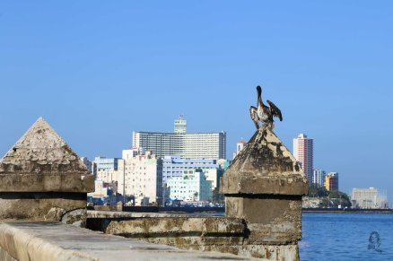 The pelican of Havana, Cuba