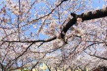 Cherry blossom in South Korea