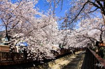 Cherry blossom in South Korea